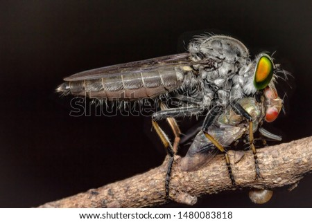 Robber fly in the Asilidae family,Flies, bites are eating flies.