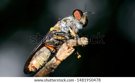 Robber fly. Robber fly full body macro