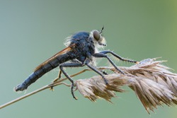 Robber fly sitting motionless on a stalk of dry grass, side view. Waiting for prey at dusk. Blurred background, closeup. Genus species Dysmachus bifurcus.