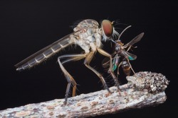 Robber fly with wasp prey