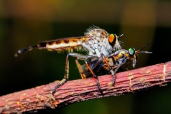 Robberfly and its prey