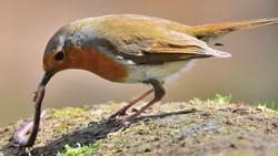 Robin and earthworm