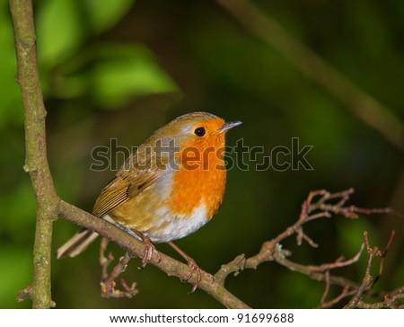 Robin at Rest
