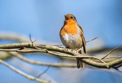 Robin Bird Chirping and Singing