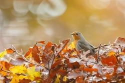 Robin bird in a autumn setting