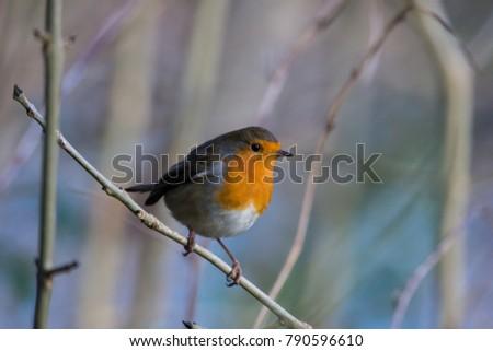 Robin bird Northern Ireland