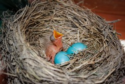 robin chick ready to eat