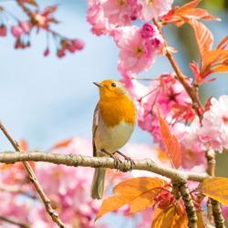 Robin (Erithacus rubecula). Bird on a cherry tree. Cherry blossom.