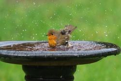 Robin (Erithacus rubecula) having a bath in a garden bird bath