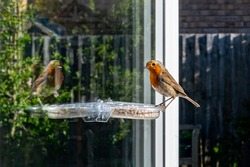 Robin, erithacus rubecula, perched on suet feeder with reflection
