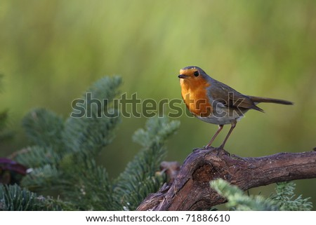 Robin (Erithacus rubecula) sitting on a branch in a garden in winter