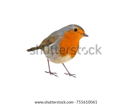 Robin (Erithacus rubecula), white background, cut out