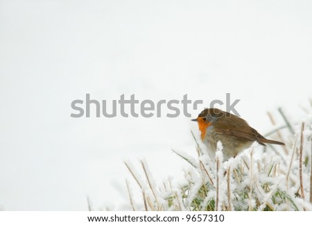 Robin in frozen grass, isolated over white