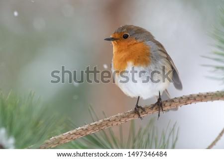 Robin in pine tree during snowfall Zdjęcia stock ©