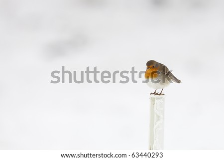 Robin in the snow in winter