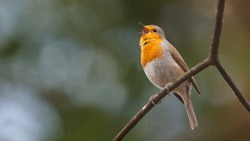 Robin is chirping on a branch