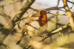 Robin is standing on a branch. Warm, beige background. The bird is positioned towards the camera in profile. The shadow of a branch falls on his eye.