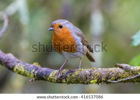 robin on a branch in a woodland ...