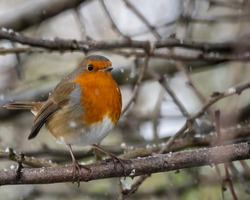 robin on branch in snow