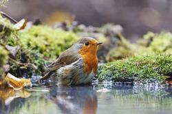 Robin on watering, orange bird, water, moss green, forest, bathing