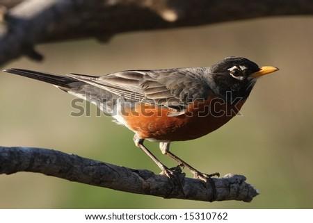 Robin perched on a tree limb.