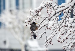 Robin perched on snow covered crab apple tree branch. Isolated with copy space.
