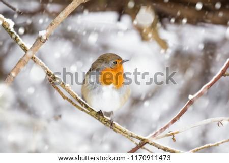 Robin red breast Christmas snow scene