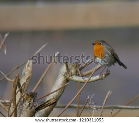 Robin Red Breast (erithacus rubecula) european robin in hedgerow