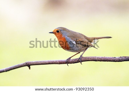 Robin red breast perched on a stick