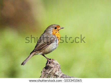 Robin red breast perched on a tree stump