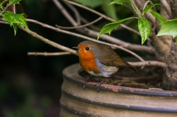 Robin redbreast bird (Erithacus rubecula) perched on garden planter with green holly leaves. colorful bird with red breast also known as European robin. Ireland