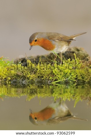 Robin reflected in water.