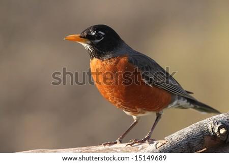Robin resting on a tree limb.