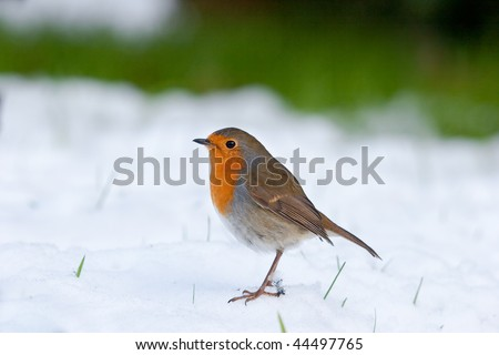 Robin standing in snow with grass in background and blades poking through