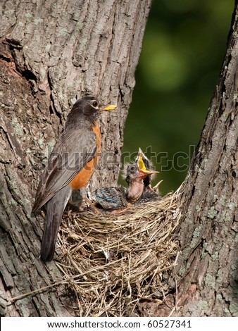 robin watches over her young as they as cry in hunger; baby with mouth wide open