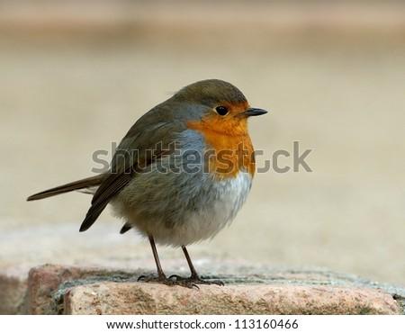 Robin, Yellow European Robin, bird, robin bird close up, wild bird in blur light background, robin in spring, bird migration season, colourful bird