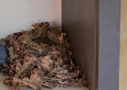 Robins hatch their young in their nest