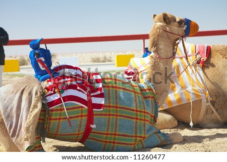 Robot controlled camel racing in the desert of Qatar, Middle East, on a sunny day. Racing camels warming up in the morning sun on the Racetrack. Focus on Remote controlled rider