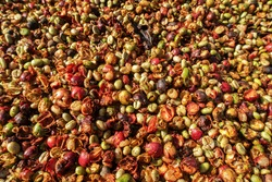 Robusta coffee beans that have been ground