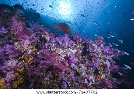 Rock Cod, sun and Soft Coral Reef covered with fish and life in the Indian ocean, Andaman Sea, Thailand.