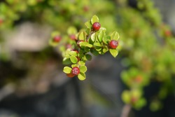 Rock cotoneaster - Latin name - Cotoneaster horizontalis