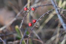 Rock cotoneaster red berries - Latin name - Cotoneaster horizontalis