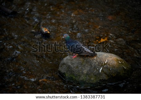 Rock dove or common pigeon (Columba livia) bird on stone in  river at evening sunlight  #1383387731