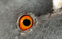 Rock dove, or common pigeon, is a member of the bird Columbidae. A young male bird. Macro image of the eye.