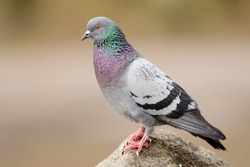 Rock (Feral) Pigeon perched on rock in natural environment.