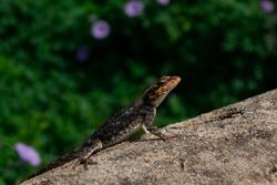 Rock Lizard at Nandi Hills India, Karnataka Bangalore