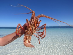 Rock Lobster or a crayfish caught on the western Australian coast line