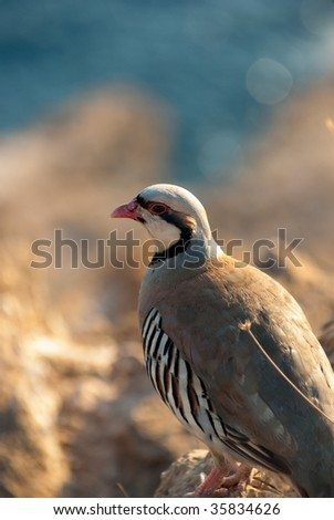 Rock Partridge at cape Sounion, Greece - stock photo