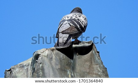 rock pigeon bird accompanying man in particular in cities such as Bialystok in the Podlasie region in Poland Zdjęcia stock ©