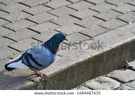 Rock Pigeon in the street looking for the food.Rock Pigeons crowd streets and public squares, living on discarded food and offerings of birdseed. Сток-фото ©